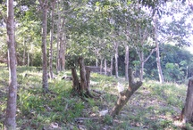 My Garden / rubber trees in east borneo