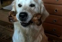 Golden retriever / golden retriever puppy Misia dog