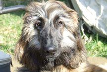 Bollywood Star Simha Szitár al Fidda / My afghan hound