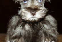 Schnauzers Blue Eyes / Absolutely stunning Blue eyed Schnauzers I AKC Schnauzers