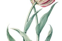 18th century Flora botanica illustration