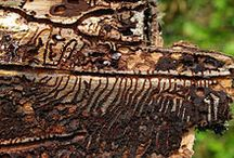 Bark beetles / Parasitism