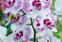 Virág - Orchidea / Virág - Orchidea