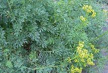 Plants/Gardening-My Herb Garden