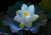 LOTUS - FLOWER OF SPIRITUALITY