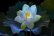 FLOWERS _ LOTUS