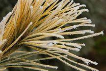 Pinus strobus - Simafenyő
