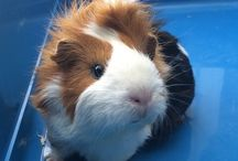 Guinea pig lover / Guinea pigs are my life, i love them more than people