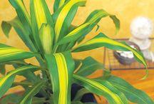 Huisplante