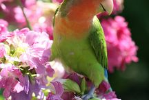 Photos of Birds-Lovebird / Photos of Birds-Lovebird,Parakeet. 鳥(ラブバード:コザクラインコ、ボタンインコ)の写真です。