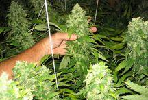 World of Weed Favorites