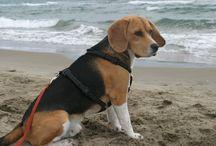 Beagle / Beagle Allenby