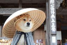Shiba inu ♡♡♡♡