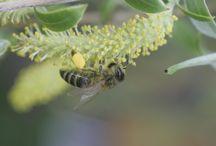 Mehiläisten hoitoa ja hunajavalmistusta