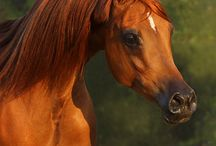~Arabians Love~