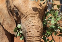 Elephant Orphans / http://www.sheldrickwildlifetrust.org/ Take some time to save the elephants who will be extinct in 20 years.