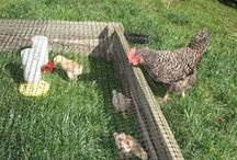 chickens, chicks...eggs / by Becky Miller-Hohol