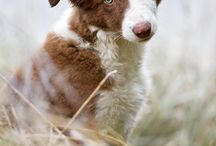 border collies <3
