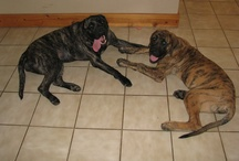 Our English Mastiffs and Toy Poodles / by Melissa Teaney