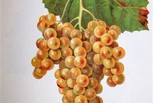 Petit Manseng | Wine Varietal Highlight