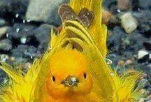 beautiful yellow warbler