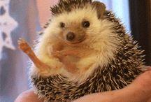 Hedgehogs ❤
