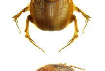 scarabaeidae geotrupinae