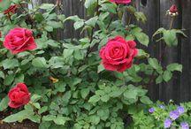 Cultivar rosas