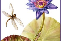 Botanical Paintings by Mindy Lighthipe / Here is a selection of my botanical paintings. Most of them are done in watercolor, although I do work in gouache, and colored pencil from time to time. You can view my work http://www.mindylighthipe.com