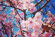 Sakura / Japanese cherry, plum, and almond blossoms.
