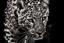* animal / kingdom   / kesem boy * animal / kingdom