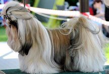 Astarte Gold Shih-tzu Kennel