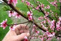Former un arbre fruitier par arcure. / La première utilisation des arcures dans le verger, c'est la formation des arbres fruitiers et voir comment arriver à réaliser n'importe qu'elle forme fruitière. Les arbres fruitiers ne poussent jamais comme on le souhaite, c'est pour cela qu'on peut intervenir avec des arcures