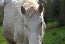 Eyes Blue d'Andaine / Connemara Stallion Born 2014 may Perlino  Kingstown Cavalier x Gwennic de Goariva