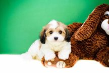 Cute and small puppies for adoption in Ohio / Affordable Pup is here to provide you the best selection of puppies, Yorkie, Maltese, Havanese, Pomeranians, Teddy Bear puppies. Our puppies are raised with love and care in the heartland of Ohio.