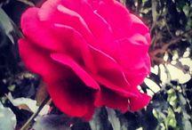 Las flores de mi jardín!  / Cada año mi jardín me regala hermosas flores, duraznos y un árbol repleto de limones de delicioso aroma. Gracias madre naturaleza!!!