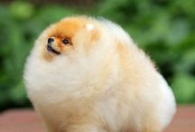 pomeranian hairstyles