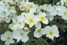Rosiers sans épines - Thornless Roses / Pour avoir des roses en plein passage !