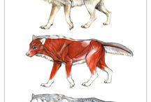Wolf Anatomy For Sierra