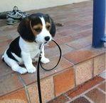 the beagle !!