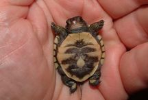 All things turtle, cause I love turtles!