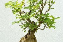 plantas (bonsai)