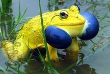 Ranas y Sapos / Imágenes sobre ranas y sapos de distintas especies.