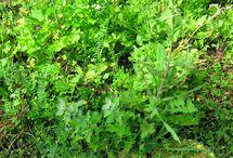 Άγρια φυτά