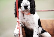 I ♡ English Cocker Spaniel