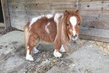 Mini Cavalos