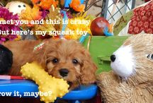Puppy Quotes From Cavapoos R Us