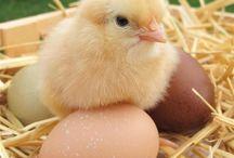 Baby chicken / Baby chicken Pictures