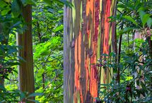 Rainbow Eucylptus / Colored trees