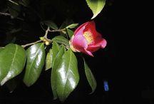 camellia - Tsubaki